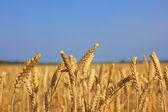 Ears of wheat. — Stock Photo