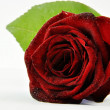 Red, rose, water, drops, — Stock Photo