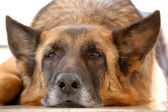 Old tired German Shepherd — Stock Photo