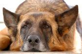Fatigué de vieux berger allemand — Photo