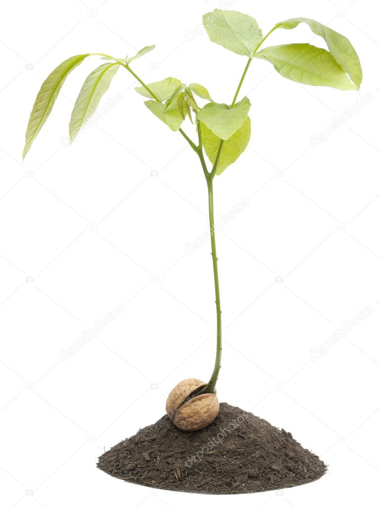 Young  walnut tree sapling isolated on a white background — Stock Photo #5742524