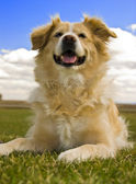 Golden retriever laying down — Stock Photo