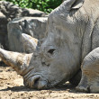 Rhinocerous Resting — Stock Photo