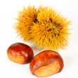 Two chestnuts and spiny curl — Stock Photo