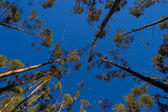Trees on blue sky — Stockfoto