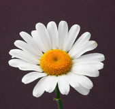 Daisy on brown background — Stock Photo