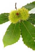 Green chestnut curls — Stock Photo