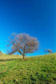 Solitary tree on blue sky — Stock Photo