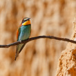 Royalty-Free Stock Photo: European bee-eater