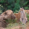 Eurasian lynx — Stock Photo #6339095