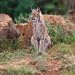 Stock Photo: Eurasian lynx