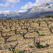 Fields of vineyards — Stock Photo
