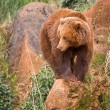 Brown bear — Stock Photo #6339267
