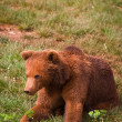 One brown bear — Stock Photo