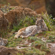Two eurasian lynxes — Stock Photo #6339300