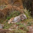 Stock Photo: Two eurasian lynxes