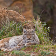 Two eurasian lynxes — Stock Photo #6339310
