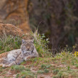 Two eurasian lynxes — Stock Photo #6339313