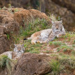 Two eurasian lynxes — Stock Photo