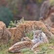 Two eurasian lynxes — Stock Photo #6339329