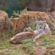 Two eurasian lynxes - Stock Photo