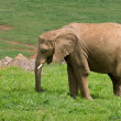 Male african elephant - Stock Photo