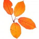 Four autumn leaves — Stock Photo #6339808