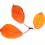 Three autumn leaves — Stock Photo #6339811