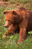 One brown bear — Stock Photo