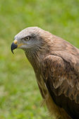 Retrato de águila — Foto de Stock