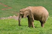 éléphant d'afrique mâle — Photo