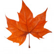 Stock Photo: One maple leaf