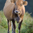 Cow standing over a blurring background. Shallow depth of field — Stock Photo #6342310
