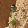 Stock Photo: European bee-eater