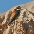 European bee-eater — Stock Photo #6345504
