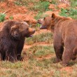 Brown bears fighting — Stock Photo