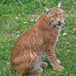 Lynx pardinus — Stock Photo #6345532
