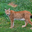 Stock Photo: Lynx pardinus