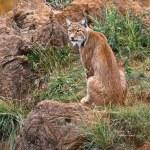Lynx pardinus — Stock Photo #6345540