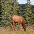 Elks female grazing - Stock Photo