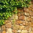 Foto de Stock  : Ivy climbing old wall