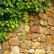 Ivy climbing the old wall - Stock Photo