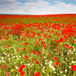 Wild poppies field — Stock Photo