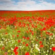 Wild poppies field — Foto de Stock