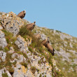 Stock Photo: Vultures on rocks