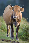 Cow standing over a blurring background. Shallow depth of field — Stock Photo