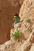 European bee-eater — Stock Photo