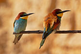 European bee-eater couple on a branch — Stock Photo