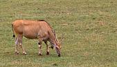 Eland, taurotragus oryx — Stock fotografie
