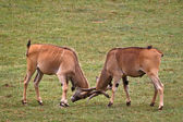 Two eland fighting — Stock Photo